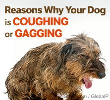 reasons why your dog is coughing or gagging