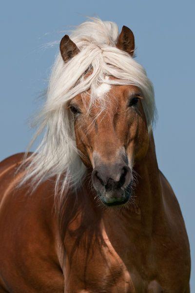 Haflinger Horse named Amigo - by Christian Slawik