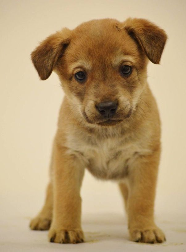 My super sweet pup! Getting him Monday! 😍🐶 husky lab mix puppy