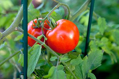 Planting Tomatoes In Your Garden? Don't Forget to Add Some Aspirin