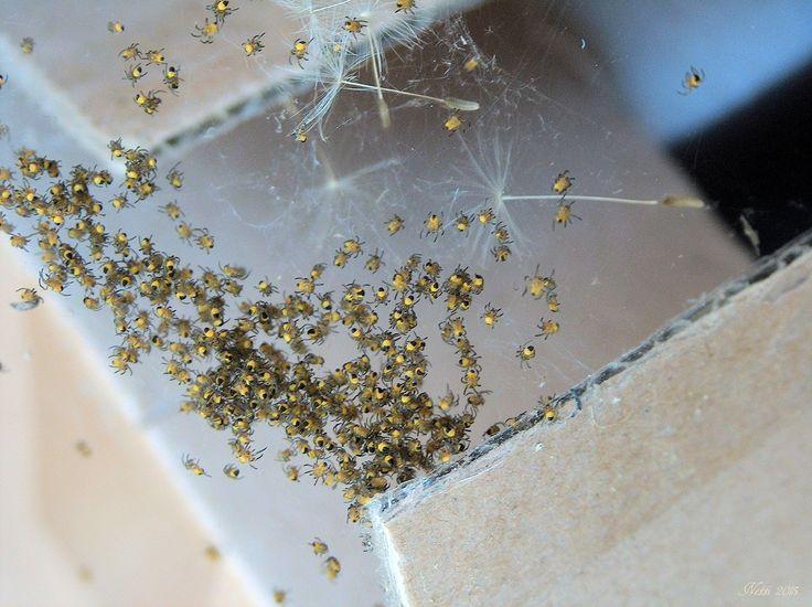 Babyspinnen der Kreuzspinne