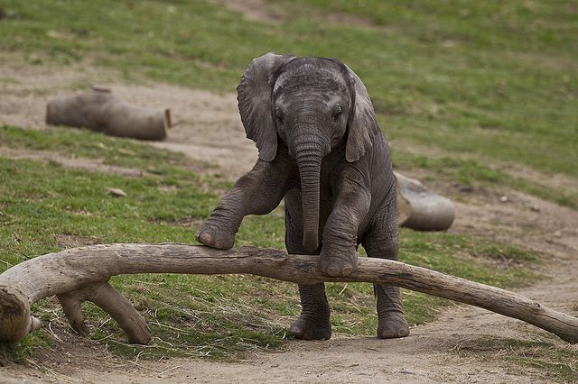 San Diego Zoo: Babies, Cute Baby, Animal Baby, Baby Elephants, Elephants Calf, San Diego Zoos, Animals Elephants, Baby Animal, Photo