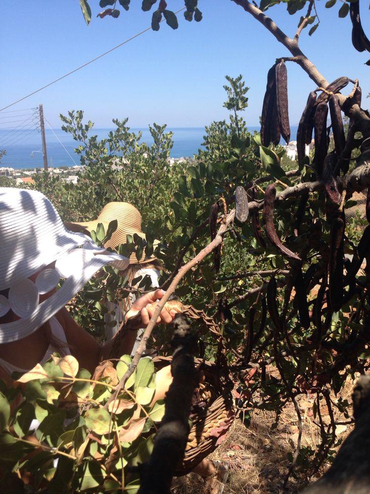 Fresh organic Cretan carobs