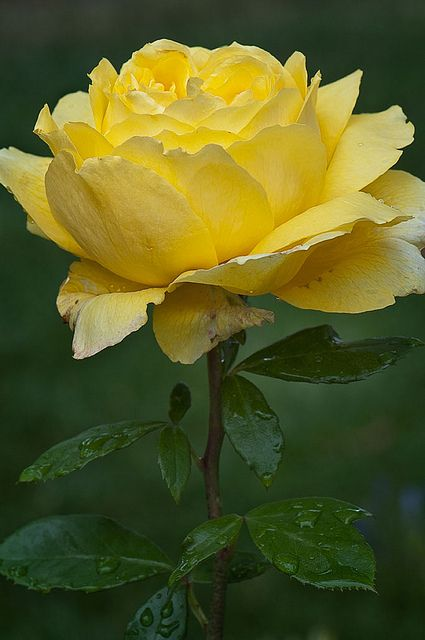 Lovely yellow rose -