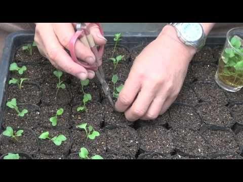 брокколи, капуста, цветная капуста, китайская капуста лист был 1,5-2 оси эмбриона корни сдвига и абсорбции.