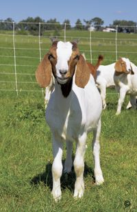 Electric Fencing for Goats - Premier1Supplies.  on my little farm I want goats.