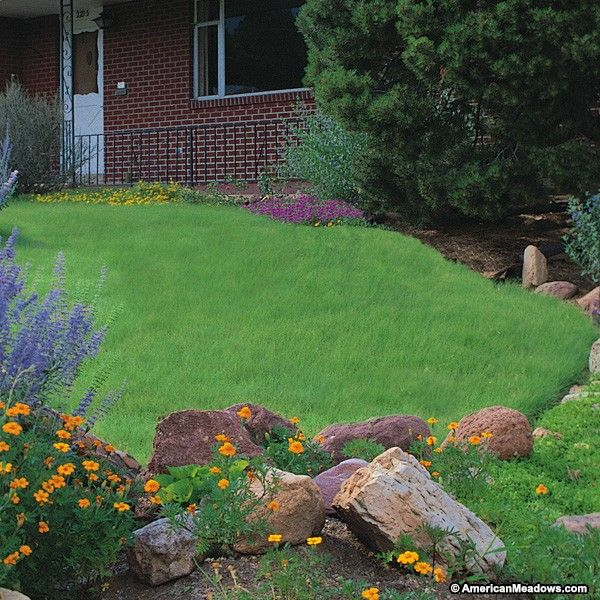 Create an instant, drought-tolerant lawn with our Legacy Buffalo Grass plugs. This native turf grass was created by agronomists at the University of Nebraska to withstand drought and dry conditions. Legacy Buffalo Grass is an easy-care grass with the full, lush look of fescue or bluegrass lawns. We recommend planting in areas that have at least a half day of sun. Want to give your freshly transplanted root plugs the best chance to succeed