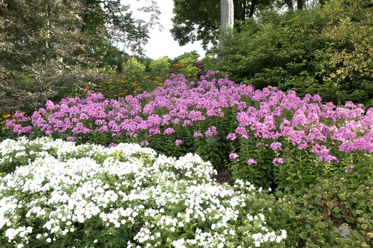 Volcano phlox - mixed colors in the landscape | Flickr - Photo Sharing!