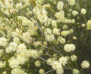 Melaleuca uncinata  Broom Bush