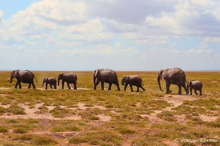 African Elephants, African Elephant Pictures, African Elephant Facts - National Geographic