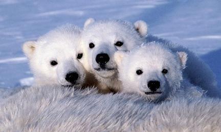 A cada vez mais difícil vida dos ursos polares na solidão do gelo …
