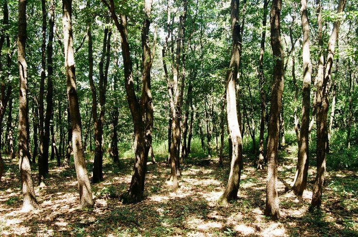 Zubán Diána A nyári erdő fényei A kép a Károlyi-kilátó közelében készült,  ahonnan egyébként gyönyörű a kilátás,  ha a fák között átszűrődő fény nem lenne elég. :) A képet Kodak gold 200 filmre készítettem, Nikon F60-as filmes fényképezőgéppel. Több kép Diától: http://tilltall.tumblr.com/