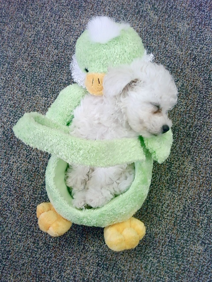 Newborn bichon frise puppies