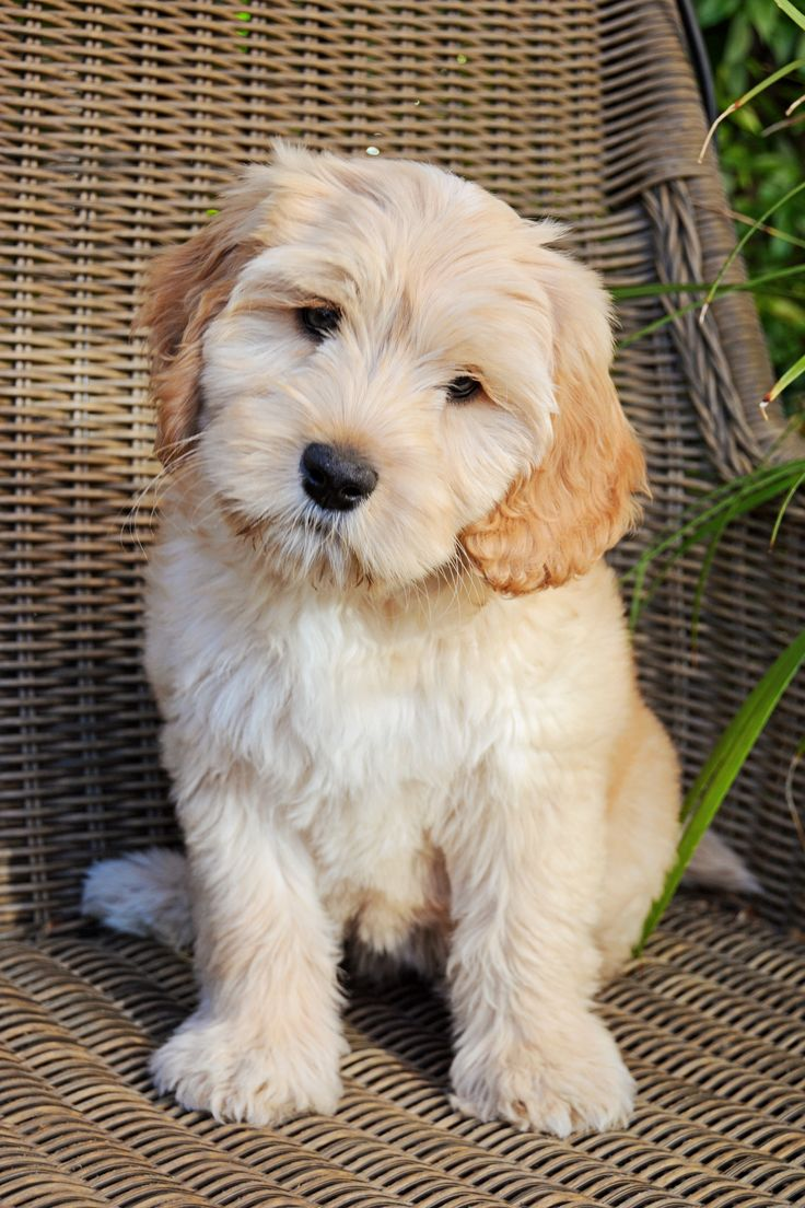 """Our medium Australian Labradoodle puppy """"Bella"""" is so so sweet! We love her. So cute too!"""