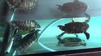 turtles breeding - YouTube