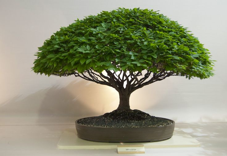 WOW What a tree - Awesome Bonsai! So pretty!