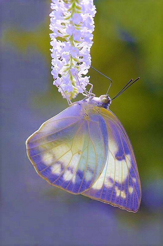 Violet colored butterfly wings. They look like a stained glass window with the sun shining through.