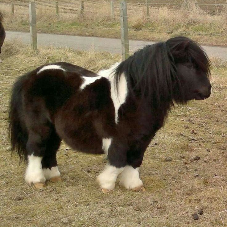 Shetland Pony stud my bday is coming up and I really really want a horse