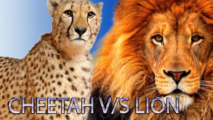 Cheetah v/s Lion Finger Family Nursery english 3d  rhymes |  Children An...