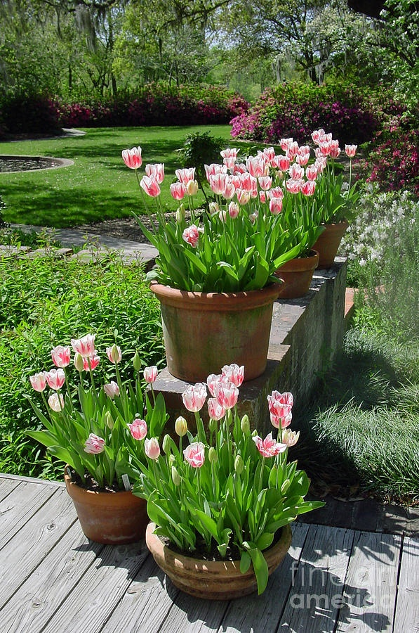 Pots of peppermint tulips against a backdrop of fuschia azaleas and white dogwoods are hard to beat in the springtime!