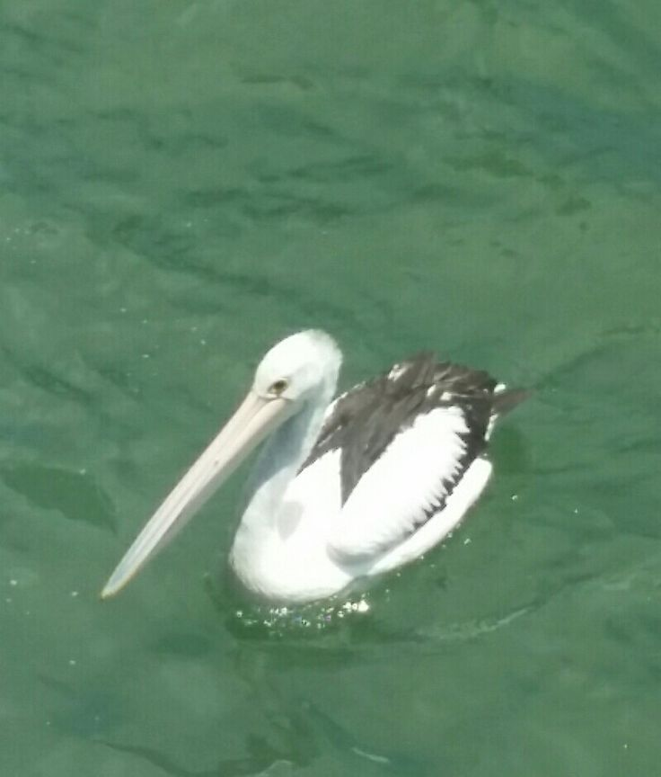 Mandurah pelican