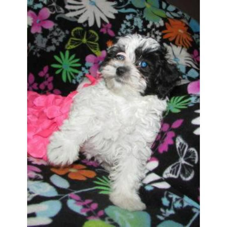 Black and white toy poodle for sale