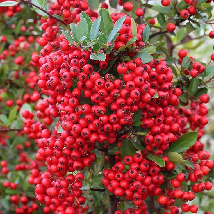 Arbust Pyracantha Red Column