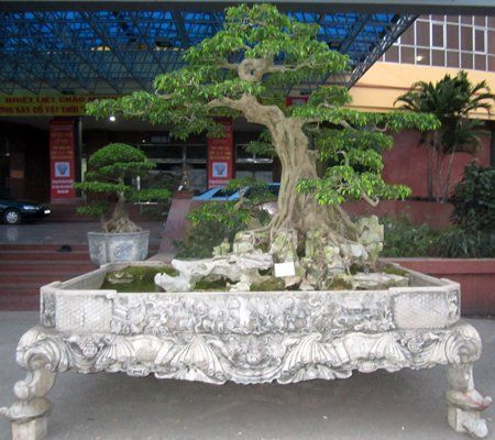 17 best images about bonzai trees on pinterest trees for Most expensive bonsai tree ever