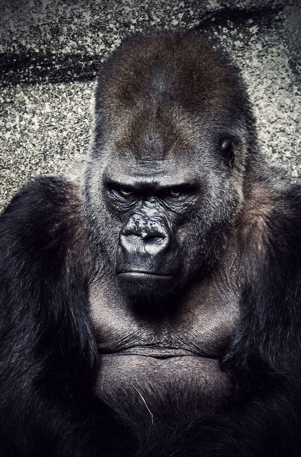 Angry Silverback Gorillas 75 best Gorilla images...