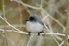 Blue-gray Gnatcatcher  Adult males are blue-grey on the upperparts with white underparts and have a long slender bill, long black tail and an angry black unibrow. Females are less blue without the unibrow. Both sexes have a white eye ring.