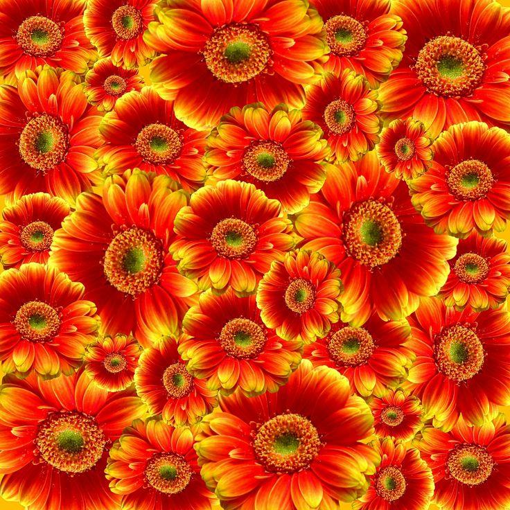 gerbera, flowers, nature, plant, colorful, cut flowers, color, flowers graphics, beautiful, flora graphics orange