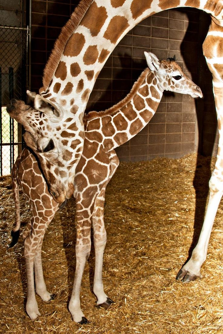 Average gestation for a Giraffe calf is approximately 15 months. Giraffes give birth while standing and unlike humans, the calf is born hooves-first. The calf then proceeds to stand, usually within one hour after birth. In the wild, it is important for a newborn Giraffe to be able to stand quickly to elude predators.