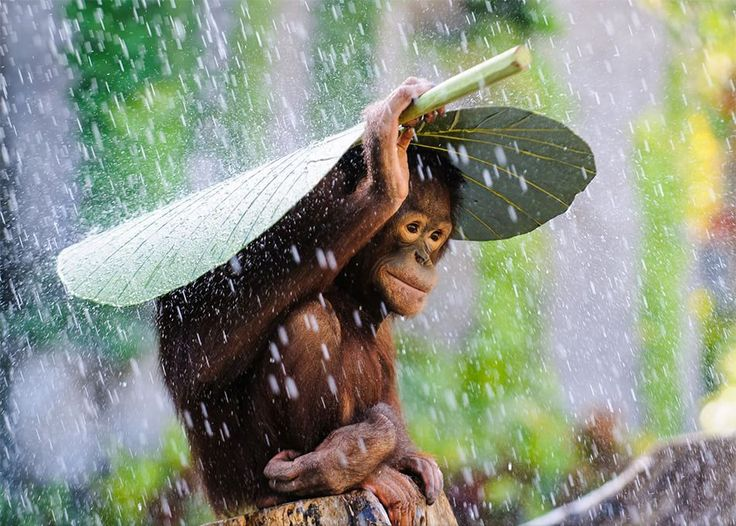L'invenzione dell'ombrello! (Concorso National Geographic Usa 2015. MENZIONE D'ONORE: Orangutan In the Rain. Fotografia di  Andrew Suryono, categoria NATURA. Riprese a Bali, Indonesia).