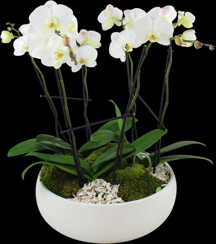Best 25 potted orchid centerpiece ideas on pinterest orchid wedding centerpieces white - How to care for potted orchids ...