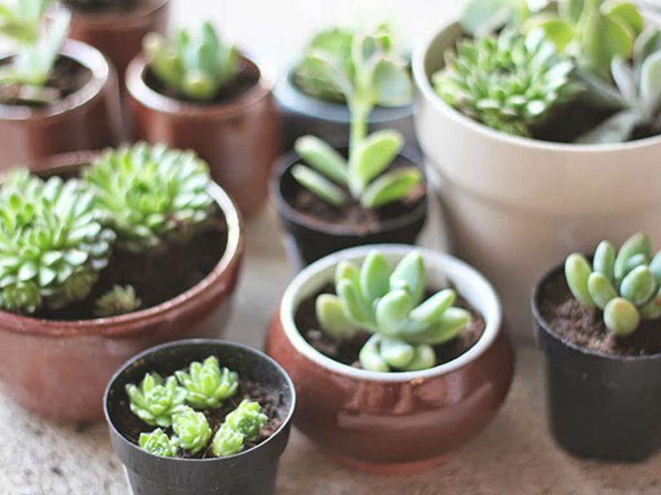 how to repot succulents green thumb succulents plants transplant succulents. Black Bedroom Furniture Sets. Home Design Ideas