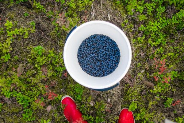 blueberry picking in finland