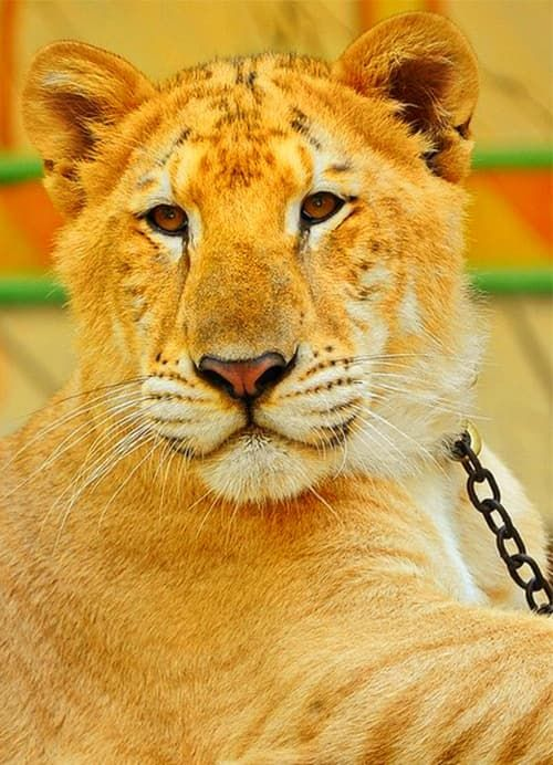 Mortality rate of the liger cubs depends upon numbers of fators such as health facilities, care, food serving etc. Mortality rate of the liger cubs has nothing to do with genetics of the ligers because genetically liger cubs have a very strong immune system.