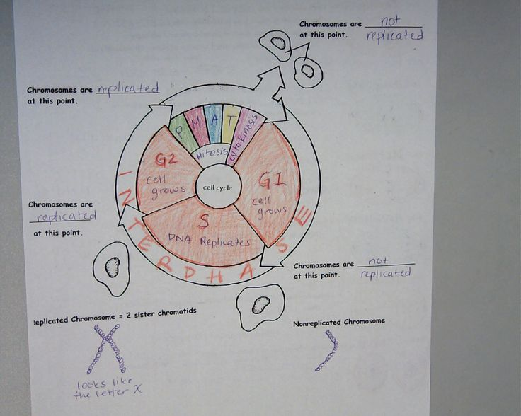 Worksheets The Cell Cycle Coloring Worksheet coloring sheets biology and colors on pinterest i would put chromotid replicated chromosome cell cycle worksheet