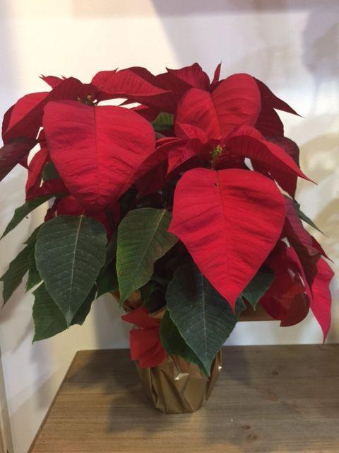 Elegante Flor de Pascua o Poinsettia,se presenta en tamaño aprox. de 50 a 60 cm. de alturaproducto extraordinario con una presentación exquisita.Para regalar, agradecer, felicitar, decorar...¿Por qué en Les flors de Nuria