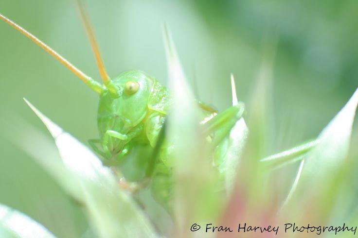 Delicate grasshopper.