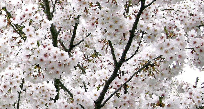 Sakura at Nishi Koen, Chou-Ku, Fukuoka-Shi, Japan, April 2004.