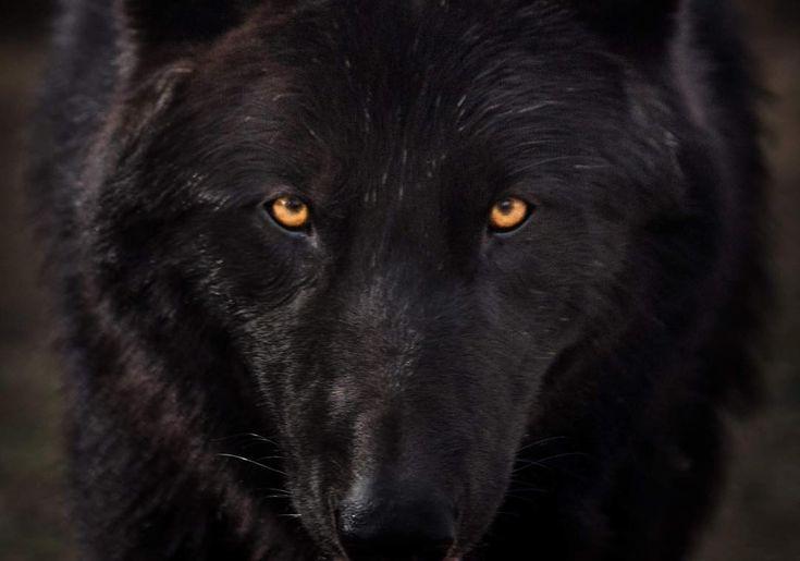 надо было смотреть фотографии черного волка конструкциях заложен
