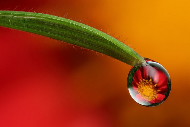Dahlia dewdrop refraction #2: Water Drops, Drop Reflections, Nature Pictures, Dahlia Dewdrop, Rain Drops, Dew Drops, Amazing Nature, Dewdrop Refraction, Water Droplets