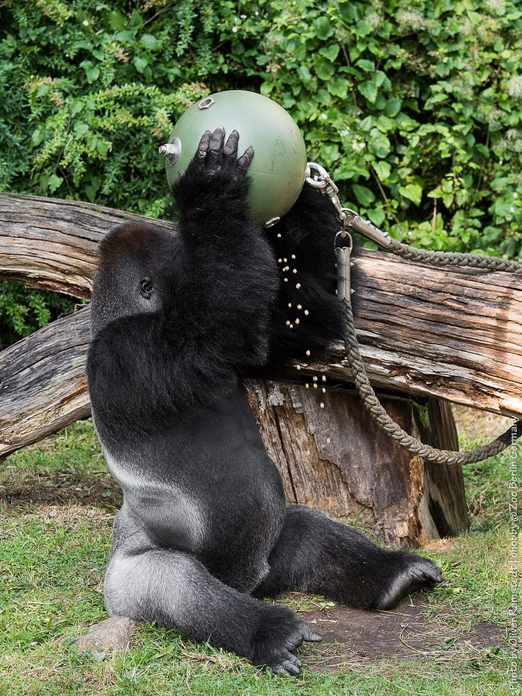 Elegant Gorilla Ivo