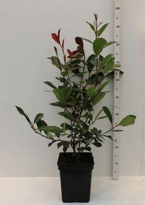 Zeer mooie Glansmispel (Photinia fraasereri Red Robin) Mooi product om een gekleurde haag mee te maken.