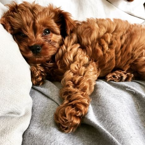 cavoodle #puppy! – Things that make you smile