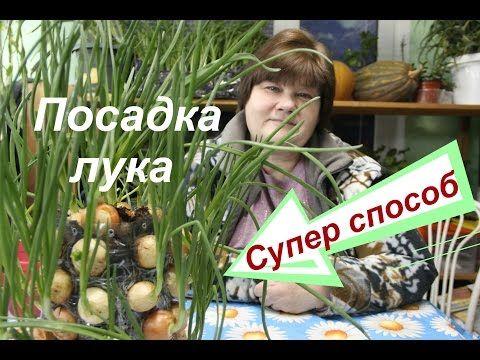 Лук на зелень. Супер способ.. Обсуждение на LiveInternet - Российский Сервис Онлайн-Дневников