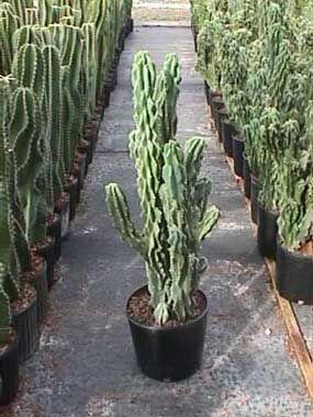 Cereus Peruvianus 'monstrosus' - Google Search