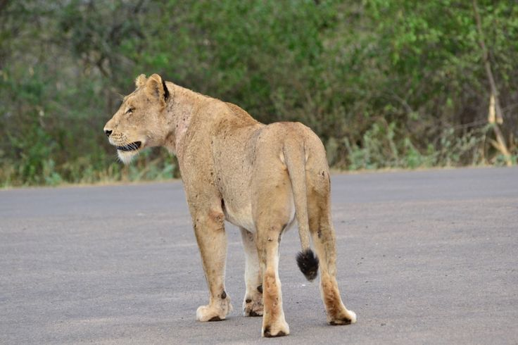 Lion outside Lower Sabie