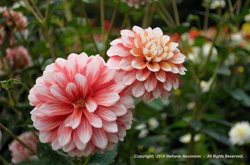 Chai Colored #Dahlias© Stefanie Neumann  -  Seeing this, one wants to go and sit down at the #DahliaGardenHamburg with a chai latte, right away...  |  #KBFPhotography